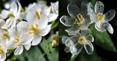 This Stunning, Rare 'Skeleton Flower' Becomes Transparent When It Rains Rare Flowers, Beautiful Flowers, Skeleton Flower, Corpse Flower, Moth Orchid, Rare Species, When It Rains, Blossom Flower, Nature Images