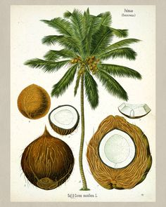Coconut palm tree antique botanical print Vintage Plant illustration from…