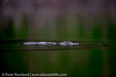 The #Platypus was thought to be a #hoax when specimens were first sent to #scientists #aus_wildlife