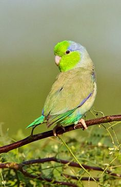 Pacific Parrotlet (Forpus coelestis), wild type in habitat. Native to Ecuador and Peru. photo: Glenn Bartley.