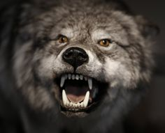 Image detail for -leaders who cry wolf may leave their flock to be eaten Animals Of The World, Animals And Pets, Angry Animals, Canis Lupus, Wolf Husky, Wolf Dogs, Angry Wolf, Wolf World, Wolf Images