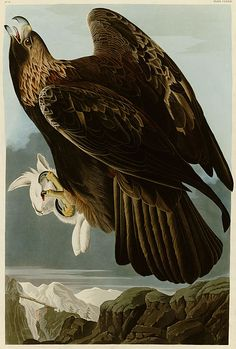 Golden Eagle by John James Audobon                              …