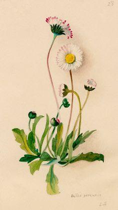 Lilian Snelling -- Bellis perennis -- Lilian Snelling -- Artists -- RHS Prints