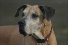 Rex a Dane that lived for 13 years against all odds. I contribute his long life to raw feeding.
