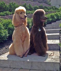 Standard Poodles, Brady and Barnaby   Bijou Poodles