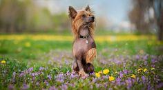 Best Hypoallergenic Dog Breeds: 20 Different Breeds That Don't Shed Best Big Dog Breeds, Best Hypoallergenic Dogs, Pet Boutique, Big Dogs, Chinese, Pets, Blog, Hypoallergenic Dog Breed, Chinese Crested Dog
