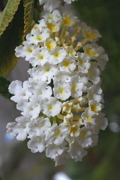 Lantana is a genus of about 150 species of perennial flowering plants in the verbena family.
