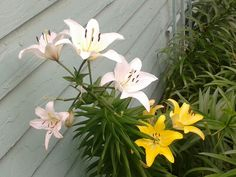 White & Yellow Asiatic Lilies