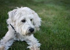 Weezy, my baby girl. The Soft Coated Wheaten Terrier. The most perfect Hypoallergenic dog. :)
