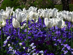White tulips and Pansies at Filoli Gardens, CA. They often plant tulips and forget-me-knots together.