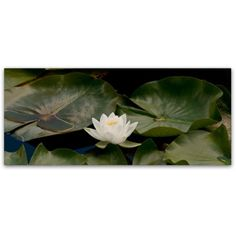 Trademark Fine Art One White Water Lily Canvas Art by Kurt Shaffer, Size: 10 x 24, Multicolor