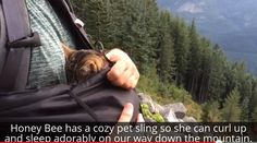 """fourteenfortyseven: """"janemba: """"podencos: """"blackmorgan: """"Meet Honey Bee, The Rescued Blind Cat Who Loves Hiking Meet Honey Bee, a blind cat from Fiji with a beautiful spirit and a wonderful message of..."""