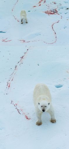 Blood Tracks of a Polar Bear After a Seemingly Successful Hunt (Greenland) by Janet Little Jeffers-vert