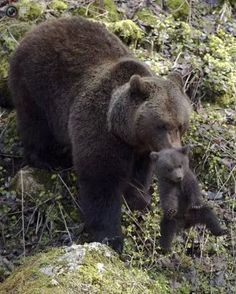 Mum and baby bear mother nature moments