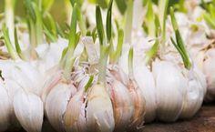 Est-ce que votre ail a déjà germé avant même que vous l'utilisiez? Eh bien, vous ne devriez certainement pas le jeter. Selon la dernière étude publiée dans la Revue de Chimie Agricole et Alimentaire (Journal of Agricultural and Food Chemistry), l'ail germe après cinq jours et il contient cinq fois plus d'antioxydants que l'ail frais. Cela peut sembler …