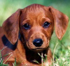 dachshund puppy | Tumblr