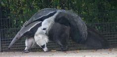 ALLPE Medio Ambiente Blog Medioambiente.org : ¿Por qué los osos hormigueros gigantes tienen osos pandas en sus patas?