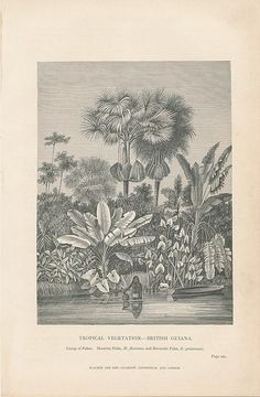 "British Guiana tropical vegetation 1874 antique engraved tree & plant print   |   Mauritia & Ravenala Palms...  Printed Glasgow, Edinburgh and London: 1874; by Blackie & Son.  Printed area measures c.  6 1/2"" W x  4 1/4"" H."