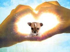 I ❤ Chihuahuas