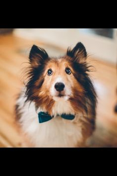 Sheltie dog with a bowtie! My dog Moses at my wedding!