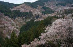 Cherry blossoms at Yoshino, #Nara.   Flickr - Photo Sharing!