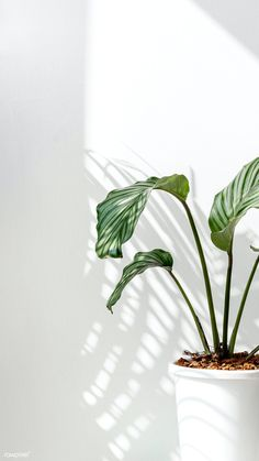 Download premium image of Calathea Orbifolia by a white wall 2355038