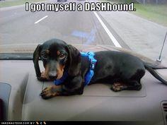 funny dachshund pictures | dachshund dashhound puppy