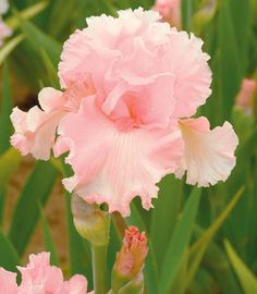 Pink never looked so good. Iris 'June Krausse' is an incredibly beautiful Tall Bearded Iris with elegantly ruffled and laced flowers in the most luminous shade of seashell pink.