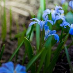 Siberian squill (Scilla siberica) is one of the earliest spring bulbs to come to flower.