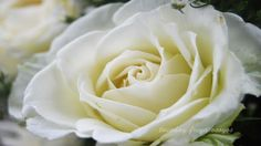 Download beautiful white flowers wallpapers For Widescreen, Fullscreen, High Definition, Dual Monitors free of cost from allmood