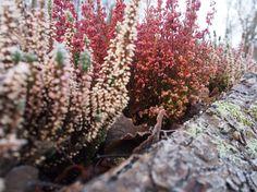 Heathers in Fiskars Plants, Christmas, Xmas, Navidad, Plant, Noel, Natal, Kerst, Planets