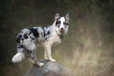 Australian Shepherds, West Highland Terrier, Scottish Terrier, Border Collie Blue Merle, Animals Beautiful, Cute Animals, Puppies And Kitties, Corgi Puppies, Husky