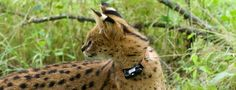 Rescued Orphans Now Released - Serval Cats Update