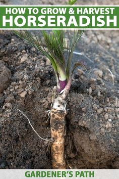 Do you love the spicy tang of horseradish? If you're a home gardener, try growing your own! This root is super easy to establish and care for and you can harvest it to create your own spicy dips and sauces at home. Get the details now on Gardener's Path. #horseradish #vegetablegardening #herbgarden #gardenerspath Home Vegetable Garden, Herb Garden, Garden Beds, Garden Plants, Garden Care, Potted Plants, Hydroponic Gardening, Organic Gardening, Container Gardening