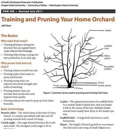 How to train and prune your home orchard-great graphic!