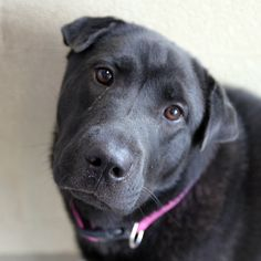 Lucy - SPCA of Texas (McKinney) - how can you not love this face? She's a sweet girl, too. **Adopted