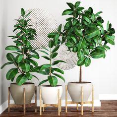 Ficus Robusta Tree 3D Model - 3D Model