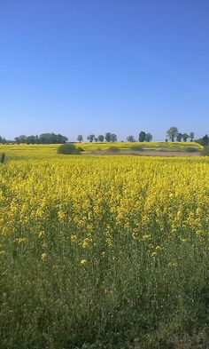 piękne, żółte pole i błękitne niebo