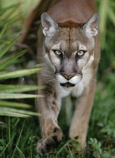 The Florida cougar, or Florida panther, a subspecies native to southern Florida, is reddish brown.