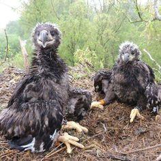 Jonge zeearenden Lauwersmeergebied geringd: het zijn 2 gezonde vrouwtjes