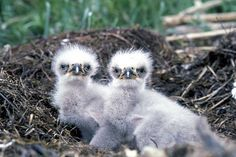 Young eaglets in the nest in 2013. The white tip is the egg tooth...a calcium spur that forms so the eaglet can break their egg open and hatch. Photo © Dave Menke, USFWS / Flickr