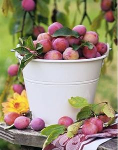 Buckets of plums to eat fresh or preserve as jam and spiced sauce. Some are also frozen to use for winter desserts.