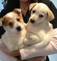 Maci PRE-ADOPTED is an adoptable Australian Cattle Dog (Blue Heeler) Dog in Edgewater, NJ. Maci is 9 weeks old -- she and her sibling Mai are Australian Cattle Dog - Blue Heeler pups.  Two 5 in 1 vac...