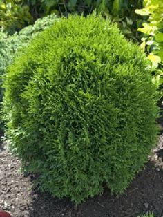 Thuja - Little Giant Cedar