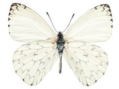 White Butterfly with