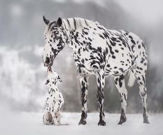 Appaloosa Horse Origin: North America Description: Known for its unique spotted pattern, the Appaloosa is an American horse with a diverse genetic background. In addition to their signature leopard spot pattern, Appaloosas are known for having molting skin around their eyes and muzzle,