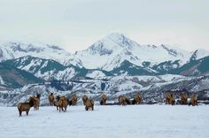 Aspen, CO: Elk herd on McLain Flats, with Mt. Daly in background