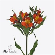 Alstroemeria Hiphop is a lovely Orange/Yellow cut variety available wholesale in Batches of 10 stems. alstro can take a few days to open. This flower, can enhance any yellow or cream wedding arrangements to add interest. Very delicate look. May Flowers, Amazing Flowers, Fresh Flowers, Yellow Flowers, Florist Supplies, Astilbe, Cream Wedding, Wedding Arrangements, Hiphop