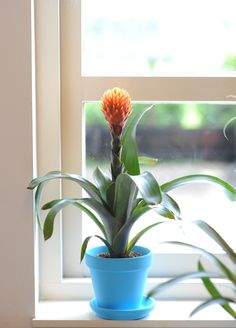 Bromeliad in the window