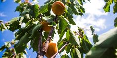 Stromky meruňky ponechané samovolnému růstu mají po čase nadměrné množství větví, plodonosný obrost předčasně zasychá a tvoří se jen po obvodu. Meruňka přestává dávat smysluplnou úrodu. Cílem řezu meruněk je uchovat správný tvar stromu a podpořit růst plodonosného obrostu. Které období je k řezu nejvhodnější? Fruit, Vegetables, Garden, Flowers, Food, Garten, Lawn And Garden, Essen, Vegetable Recipes